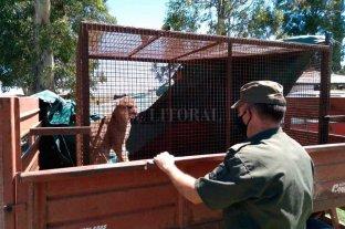 Encontraron un puma en un campo de San Genaro