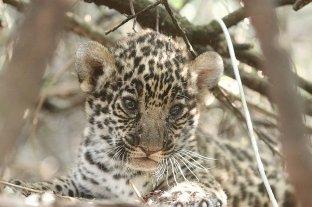 Chaco: las crías de yaguareté cumplen un mes de vida