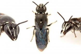 En Australia descubren una abeja que se creía extinta desde hace casi un siglo