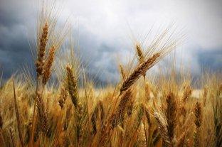 Explicaría la alta prevalencia de la celiaquía el exceso de nitrógeno en los cultivos de trigo