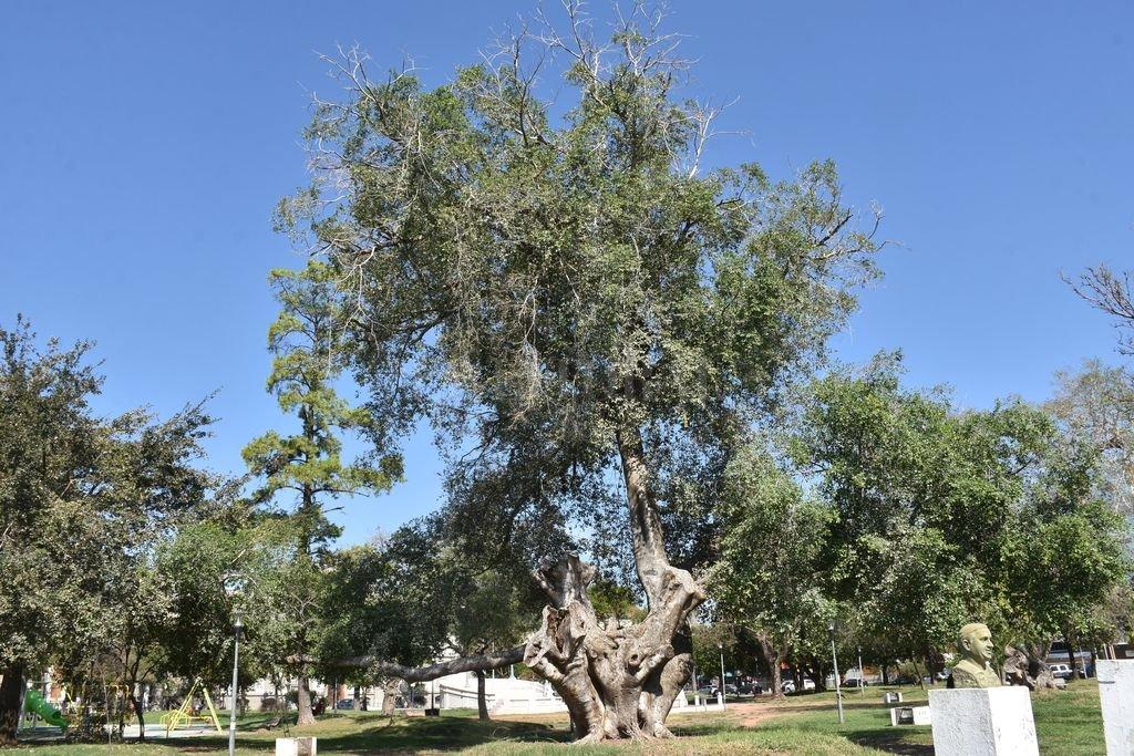 Este árbol tiene cerca de 130 años y es uno de los más antiguos de la Plaza España.  Crédito: Manuel Fabatia