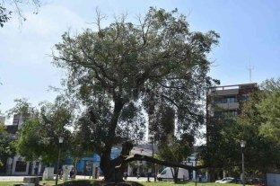 El municipio indicó que los gomeros de Plaza España están envejeciendo