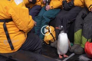 Video: un pingüino se salvó de ser comido por una ballena saltando a un bote turístico