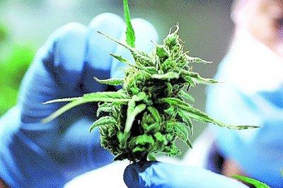 Presentan el proyecto de ley para el desarrollo de la industria del cannabis medicinal