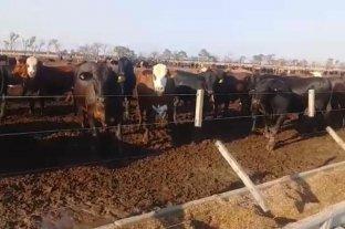 En Santiago del Estero denunciaron el hurto de 3500 cabezas de ganado