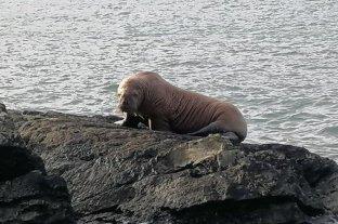 Una morsa viajó desde Groenlandia a Irlanda dormida