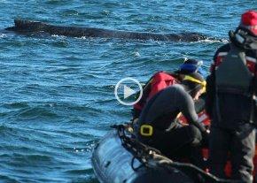 Video: salvaron una ballena en Ushuaia gracias a joven santafesina