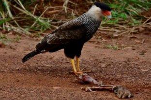 Horror en el Iberá: turistas fotografiaron a un carancho junto a posibles restos humanos