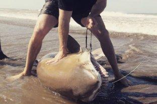 Viral: pescaron un enorme tiburón en el sur de Buenos Aires y lo devolvieron al mar