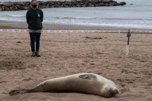 Observaron en una playa de Mar del Plata una foca que suele encontrarse en aguas antárticas