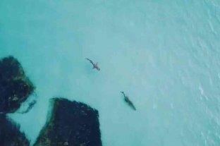 Captan con un dron el momento en que un tiburón acecha a un cocodrilo en una isla australiana