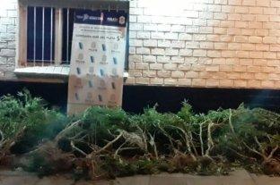 Mar del Plata: tenía una plantación de marihuana con cerco electrificado, se electrocutó y murió