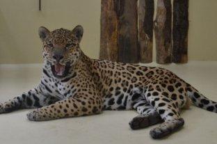 Murió el primer yaguareté que fue reintegrado en el Parque Iberá