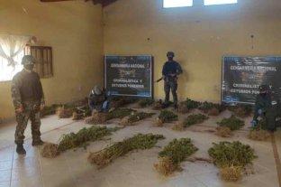 Secuestran más de 240 plantas de marihuana tras allanar una finca en Salta
