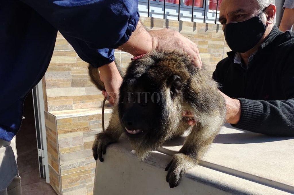 El momento en que el mono es rescatado por personal policial. Crédito: El Litoral