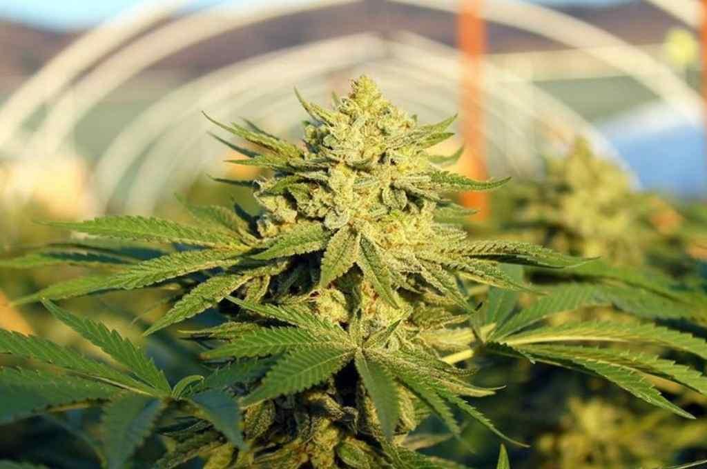 Otro paso más para el uso medicinal del cannabis.   Crédito: Gentileza