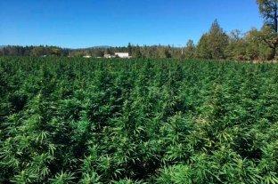 Cómo hará el INTA para cultivar cannabis en Santa Fe