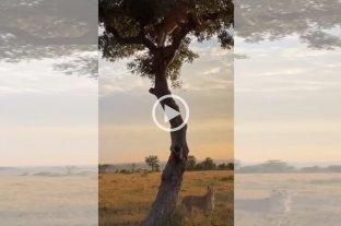 Video: una pelea por comida entre un leopardo y una leona que se volvió viral