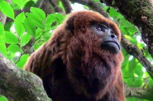 Proteccionistas buscan declarar a los monos carayá como monumento natural de Corrientes