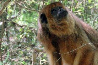 Piden en Corrientes que el mono carayá sea declarado ''Monumento Natural''