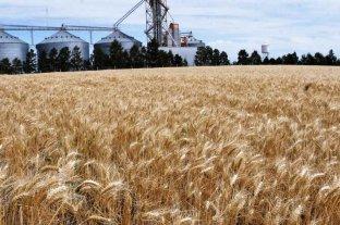 El trigo gana poca superficie en la zona núcleo
