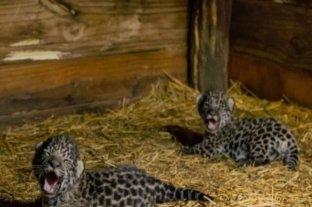 Fundación Rewilding informó que finalmente la cría de yaguareté Mbareté es hembra