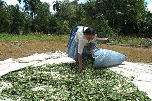 Colombia redujo cultivos de coca pero no logró disminuir la producción de cocaína
