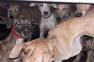 Rafaelinos detenidos por caza ilegal con galgos - Los animales fueron secuestrados en carácter de deposito judicial. -