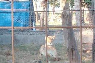 Rescatan un tigre, una leona y un carpincho de un establecimiento rural de Maggiolo