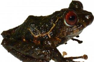 Descubren una nueva especie de rana y la bautizan en honor a la banda Led Zeppelin