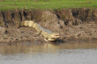 Pelearon con un cocodrilo para recuperar el cuerpo de una mujer -