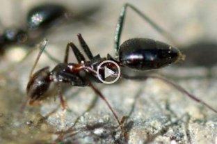 """Video: alerta en España por una invasión de hormigas """"locas"""""""