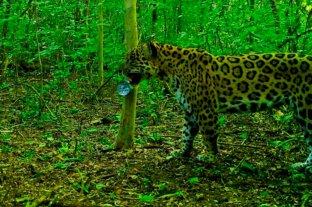 Dos nuevos yaguaretés fueron captados en bosques protegidos de Jujuy