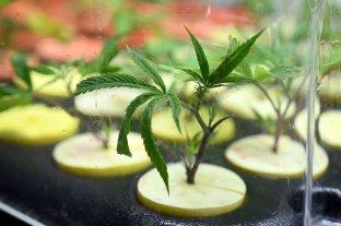 Avanza en el Senado de la Nación el proyecto sobre cannabis medicinal