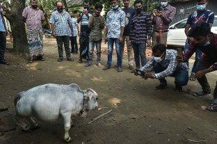 """Furor turístico en India por """"Rani"""", la vaca enana"""