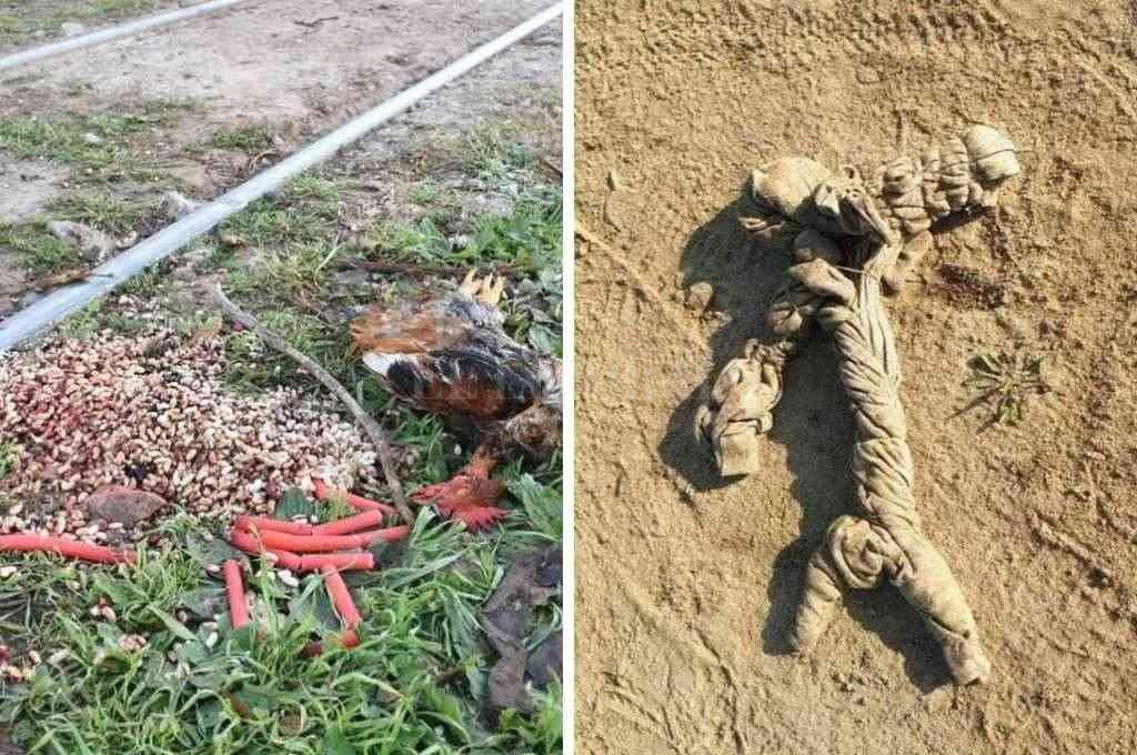 En los alrededores de las vías que están a la altura de Risso y Dorrego (detrás de la escuela N° 38 Brigadier López) fue hallado un chivo descuartizado con gallinas muertas en su interior. También había velas y legumbres. Crédito: Guillermo Di Salvatore
