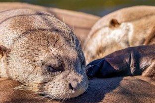 Las crías de nutria gigante nacidas en Iberá son dos machos y una hembra