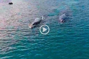Sorpresa en Río Negro: dos ballenas francas ingresaron al puerto de San Antonio