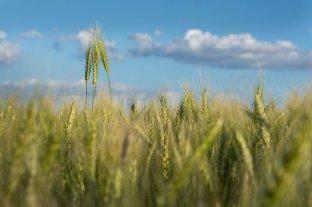 Subieron la soja y el trigo en Rosario, pero el maíz perdió US$ 5