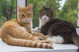 Un estudio reveló que alrededor del 10% de los gatos tienen anticuerpos contra el coronavirus