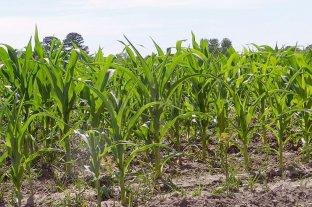 La soja y el maíz cerraron estables en Rosario, pero el trigo perdió US$ 5