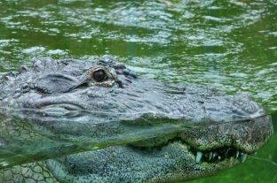 """El cocodrilo cubano podría extinguirse por ser """"demasiado codiciado para el apareamiento"""""""