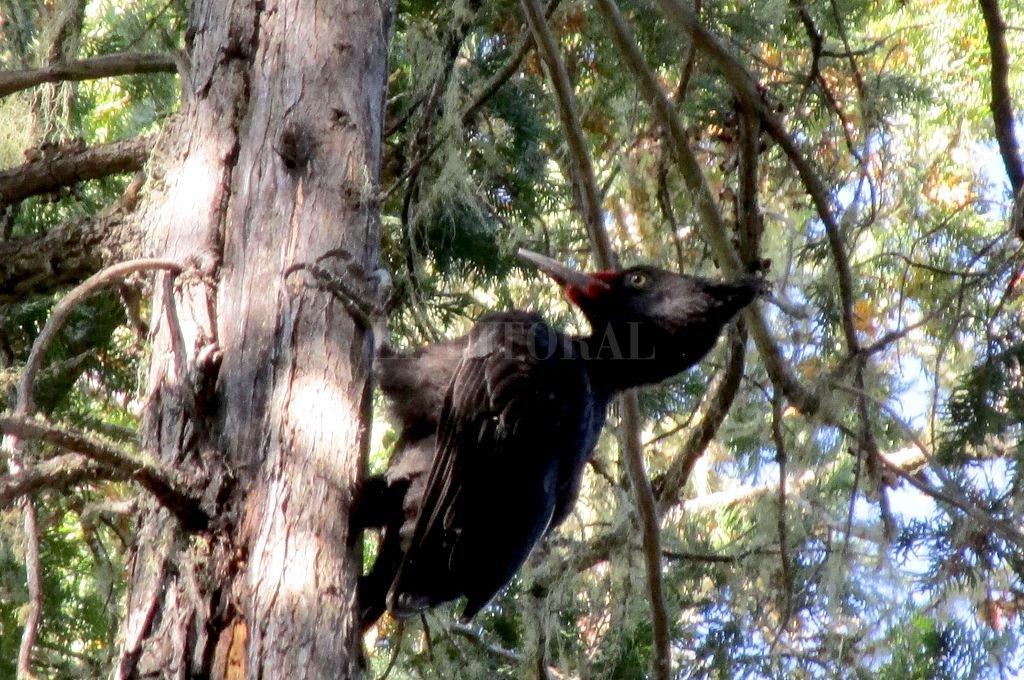 Un rayo de luz se filtra entre las hojas del viejo coihue y matiza el paisaje. Un pájaro carpintero golpea el tronco. Parece el delirante repiqueteo del corazón.  Crédito: Gentileza de la autora