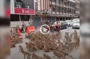 Video: dos pandillas de monos se pelearon por el territorio en las calles de Tailandia