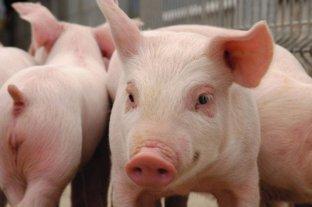 Peste Porcina: después de 40 años vuelven a detectar casos en República Dominicana