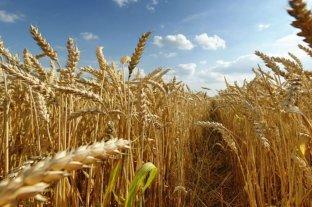 El 99% del trigo sembrado en Entre Ríos presenta buena y muy buena condición