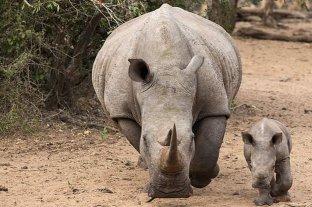 La caza furtiva de rinocerontes aumentó un 50 por ciento en Sudáfrica