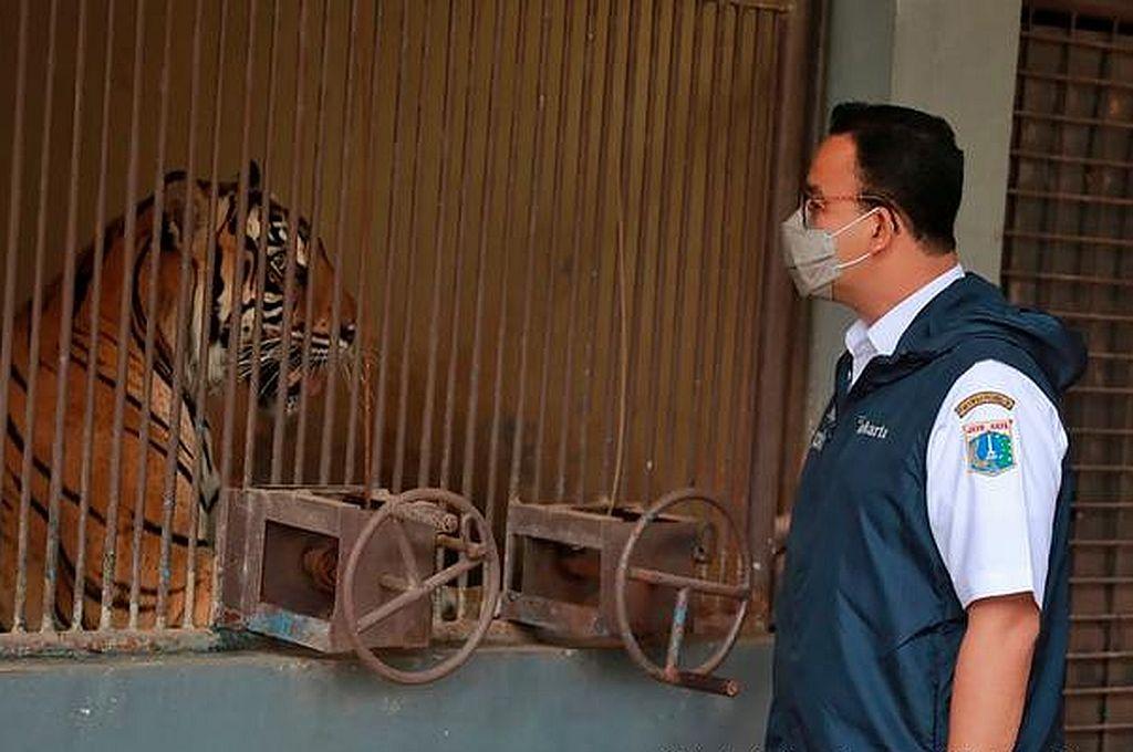 La pareja de tigres, una hembra de 12 años y un macho de 9 (foto), mostraban problemas respiratorios y pérdida de apetito. Crédito: Picture Alliance