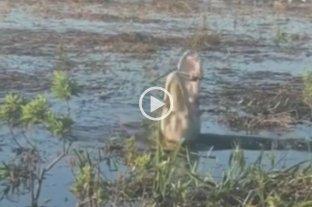 Video: un alligator se comió un drone y se incendió en su boca