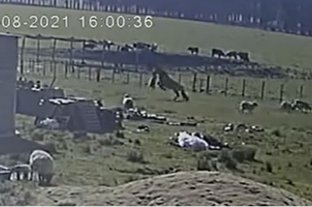"""Video: """"el caballo asesino"""" y la explicación de su extraño comportamiento"""